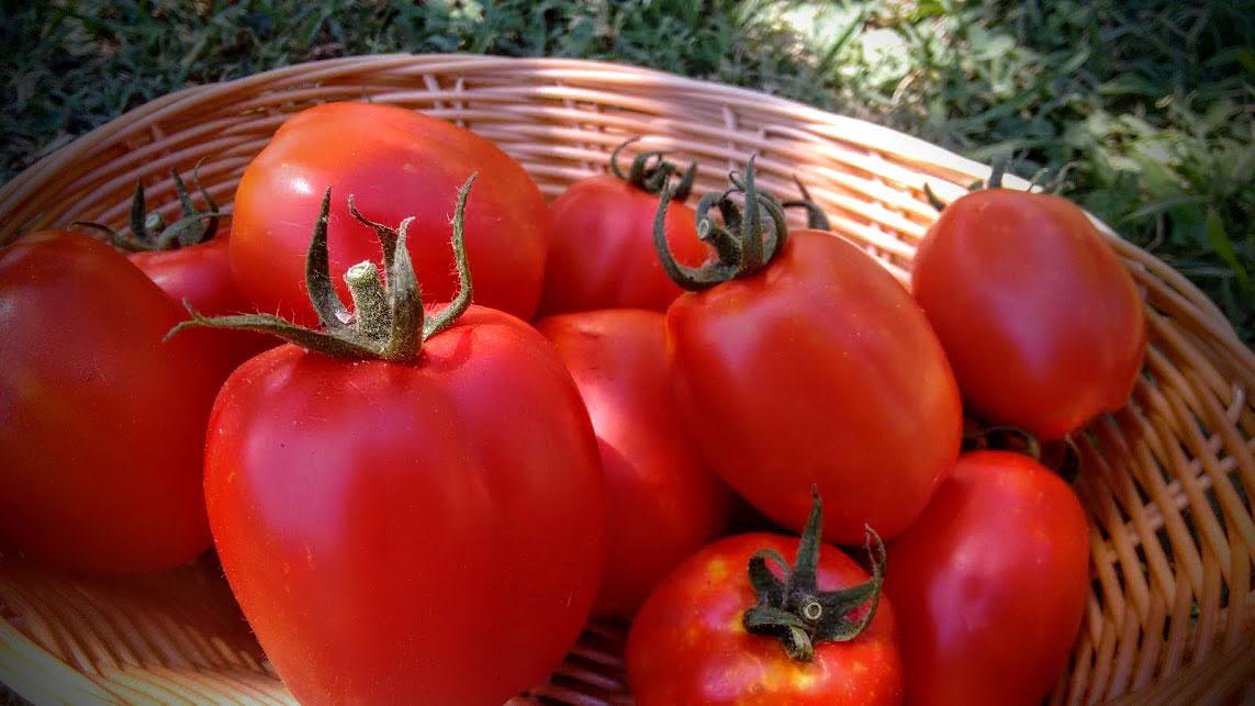 Cestino di pomodori fiascone